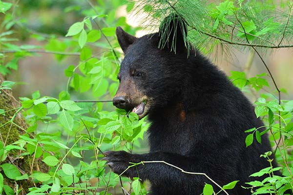 Bear in the Smoky Mountains