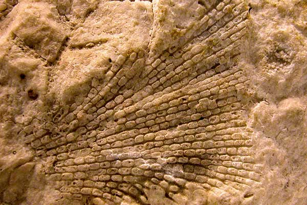Grand Canyon fossil bryozoan in redwall limestone by NPS, Michael Quinn