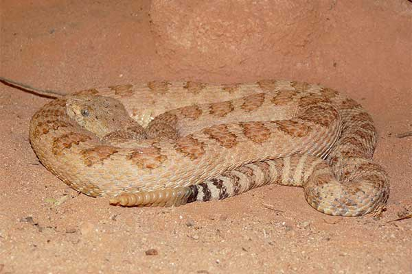Grand Canyon Pink Rattlesnake