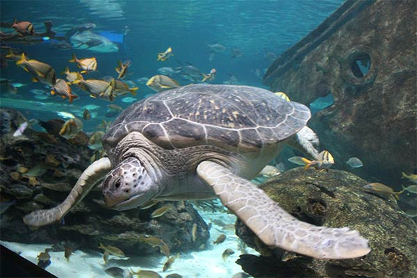 Giant sea turtle at Ripley's Aquarium of the Smokies, Gatlinburg, Tennessee