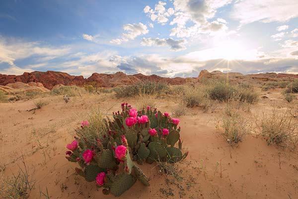 Sunset with flowering cactus at Valley of Fire State Park, Nevada